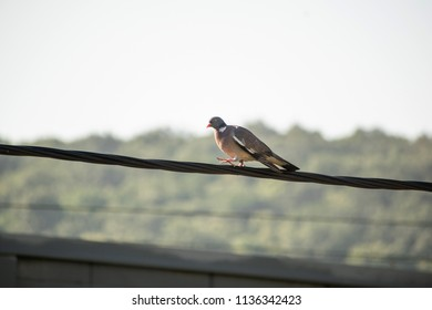 Common wood pigeon (Columba palumbus) is sitting on an electric wire.