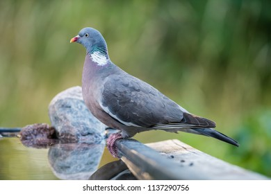 The Common Wood Pigeon (Columba palumbus) perching, in profile  at the waterhole with a nice defocused background, july in Uppland, Sweden