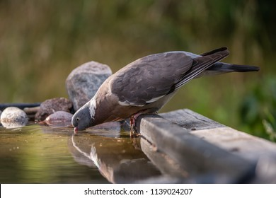 The Common Wood Pigeon (Columba palumbus) drinking, in profile  at the waterhole with a nice defocused background, july in Uppland, Sweden