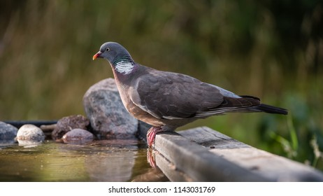The Common Wood Pigeon (Columba palumbus) perching, in profile  at the waterhole with low sidelight and a nice defocused background, july in Uppland, Sweden