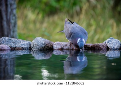The Common Wood Pigeon (Columba palumbus) drinking, from the front, at the waterhole with a nice defocused background, august in Uppland, Sweden
