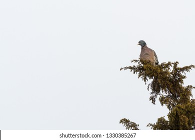 Common Wood Pigeon, Columba Palumbus, sitting on a branch in a juniper shrub at the swedish island Oland