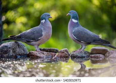 The Common Wood Pigeon (Columba palumbus) meeting, at the waterhole with a nice defocused background, may in Uppland, Sweden