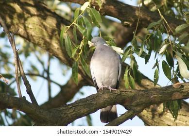 The common wood pigeon (Columba palumbus) sitting on the tree