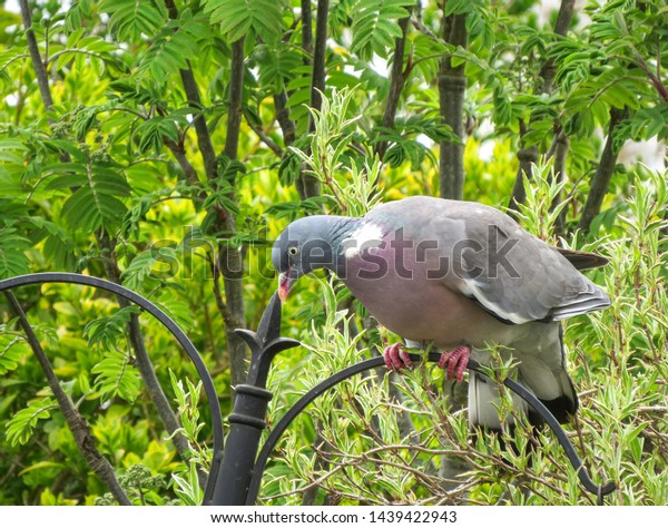 Common wood pigeon, Columba palumbus, perched on a garden bird feeder in Wales. Also known as the culver. View showing pink feet and chest.