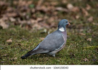 The Common Wood Pigeon in profile (Columba palumbus) with a defocused background in early spring, april, in Uppland, Sweden