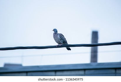 Common wood pigeon sitting on a wire.