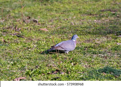 Common wood pigeon standing on field in the city