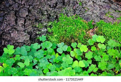 Common wood sorrel, Oxalis acetosella growing at the root of the pine. Wood sorrel has adapted to grow in forest shade. Its rootstock is fragile and its leaves are very thin, only a few cells thick.