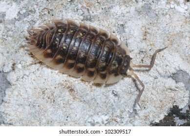 Common Woodlouse (Oniscus asellus) crawling across a stone