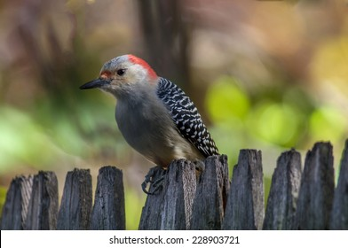 A common woodpecker over much of the South, the Red-bellied is scarcer farther north but has expanded its breeding range northward in recent decades.