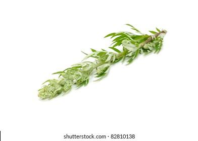 Common Wormwood (Artemisia Vulgaris) (Medicinal Plant) Isolated on White Background