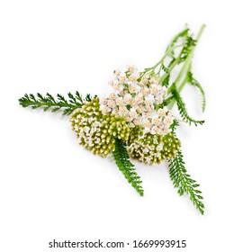 Common Yarrow (Achillea millefolium) flowering plant isolated on a white background.