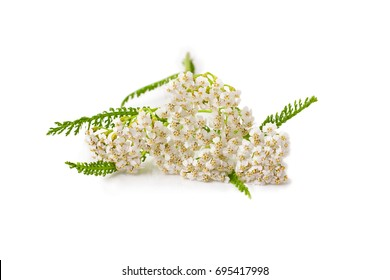 Common Yarrow (Achillea millefolium) flowering plant isolated on a white background