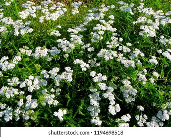 Common yarrow Achillea millefolium white flowers close up, floral background & green leaves. Yarrow pattern, milfoil top view. Medicinal organic natural herbs & plants concept. Wild yarrow, wildflower