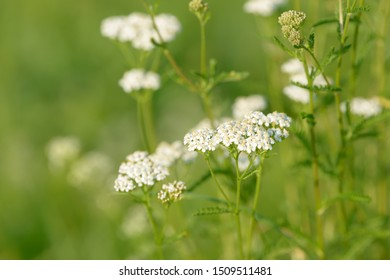 Common yarrow (Achillea millefolium) white flowers close up top view on green blurred grass floral background, selective focus. Medicinal wild herb Yarrow. Medical milfoil plant.