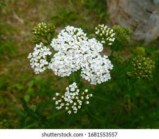 Common Yarrow (Achillea millefolium) white flowers close up on green blurred grass floral background, selective focus. Medicinal wild herb Yarrow. Healing plants concept.