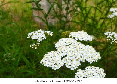 Common yarrow (Achillea millefolium) white flowers close up on green blurred grass floral background, selective focus. Medicinal wild herb Yarrow. Medical plants concept.