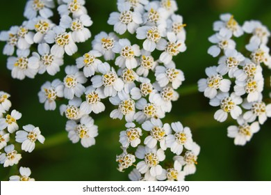 Common yarrow Achillea millefoliumwhite flowers close up top view as floral background against green blurred grass. Medicinal plants concept.