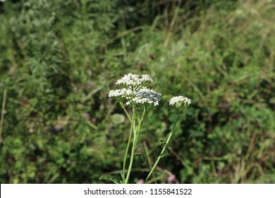 Common yarrow. Caprifoliaceae, Valeriana officinalis. Wild flower, herb, shallow depth of field. Summer nature.