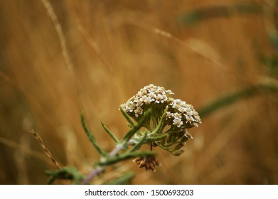 Common Yarrow close up on beige background. Yarrow white flowers. Floret landscape. Beautiful wildflower horizontal photo with a space for text. Medicinal herb. Summer nature.