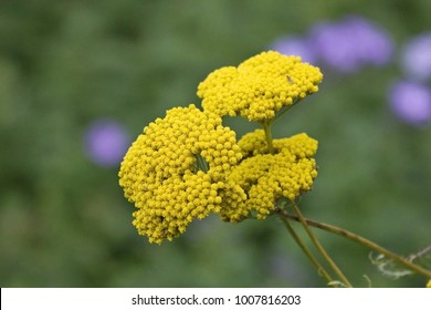 Common yarrow or milfoil (Achillea millefolium) flower head. Yellow Achillea millefolium plant or yarrow on field. Medicinal wild herb yarrow close up. Achillea millefolium is erect, perennial plant