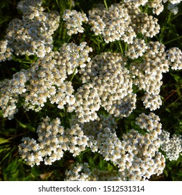 Common Yarrow white flowers close up top view on green blurred grass floral background, selective focus. Medicinal wild herb Yarrow (Achillea millefolium). Medical plants concept.