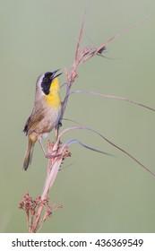 Common Yellow Throat at Lacassine Wildlife Refuge in Louisiana