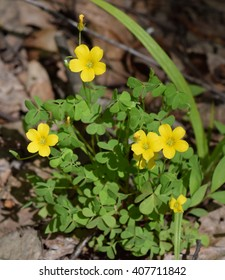 Common yellow woodsorrel in Mississippi