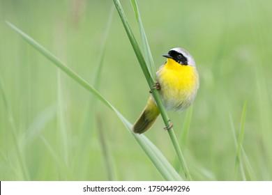 common yellowthroat bird at Coquitlam BC Canada