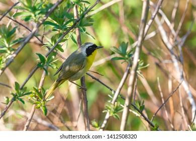 Common Yellowthroat bird at  Richmond BC Canada