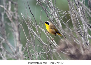 Common Yellowthroat bird sits alert and perched on the inner branches of vegetation while foraging for food.