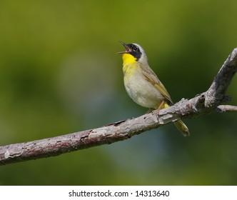 Common yellowthroat (geothlypis trichae)