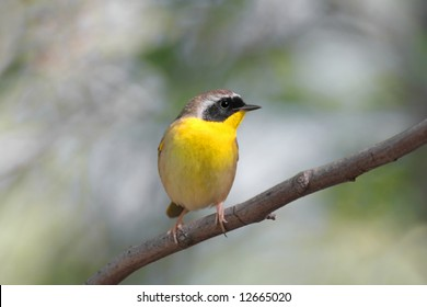 Common Yellowthroat (Geothlypis trichas) in early spring