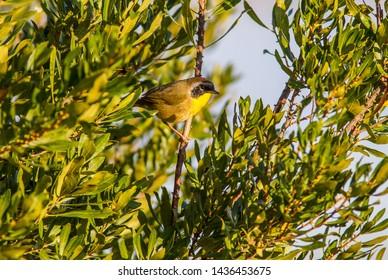 Common Yellowthroat (Geothlypis trichas), Florida, America