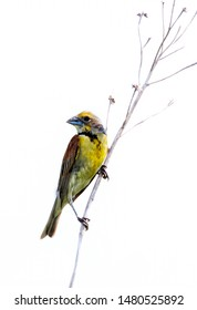Common yellowthroat (Geothlypis trichas) isolated on white background
