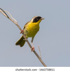 Common yellowthroat (Geothlypis trichas) male perching on dry grass in prairie, Iowa, USA.
