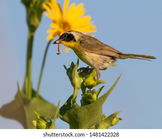 Common yellowthroat (Geothlypis trichas) male, hunting insects in blooming prairie, Iowa, USA.