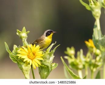 Common yellowthroat (Geothlypis trichas) in prairie, Iowa