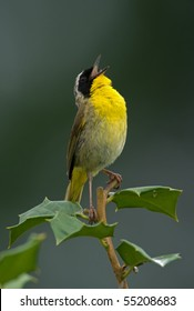 Common Yellowthroat (Geothlypis trichas) shouting out your message to the world.