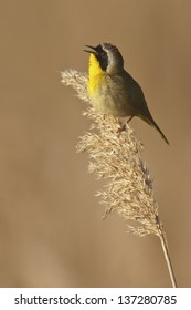 Common Yellowthroat (Geothlypis trichas) singing while perched in the marsh.