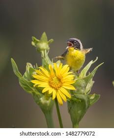 Common yellowthroat (Geothlypis trichas) singing