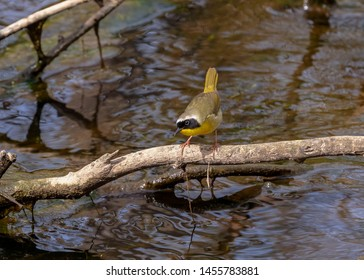 The Common  Yellowthroat (geothlypis trichas) .Small song bird ,male in spring time