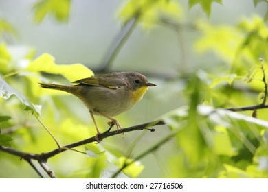 Common Yellowthroat (Geothlypis trichas trichas), Spring migrant female in breeding plumage in small bush.