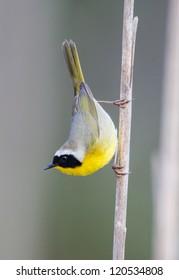 Common Yellowthroat on Cattail