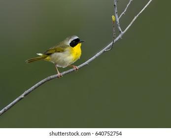 Common Yellowthroat on Green Background