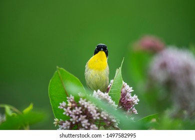 Common Yellowthroat perched in milkweed flowers with bright green leaves and background.