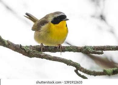 Common Yellowthroat perched on a branch with white sky background. Ashbridges Bay Park, Toronto, Ontario, Canada.