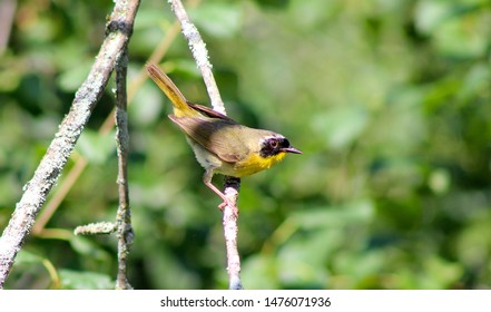 A Common Yellowthroat perched on branch