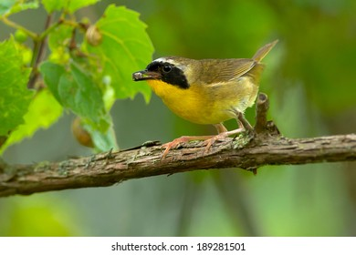 Common Yellowthroat perched on a branch.